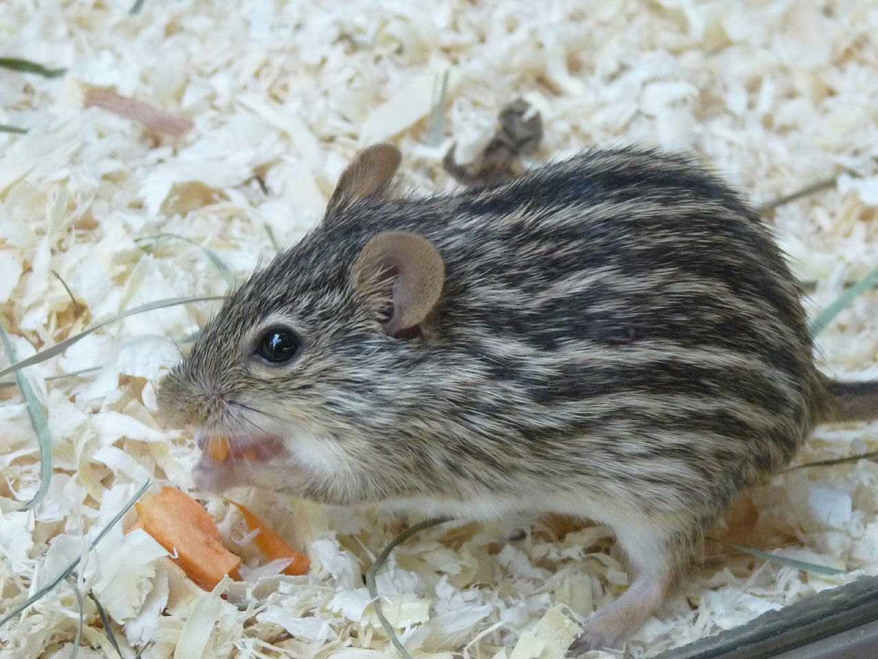 Beautiful stock photos of mouse, Adult Animal, Animal Hair, Animal Themes, Close-up