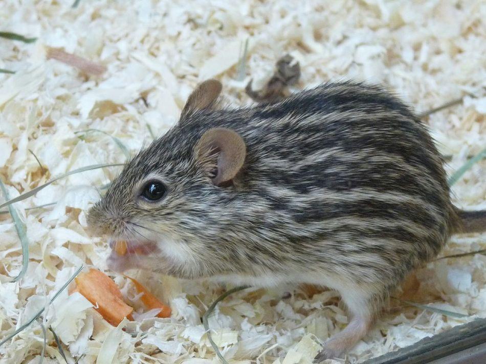 Beautiful stock photos of mouse, Adult Animal, Animal Hair, Animal Themes, Close-up