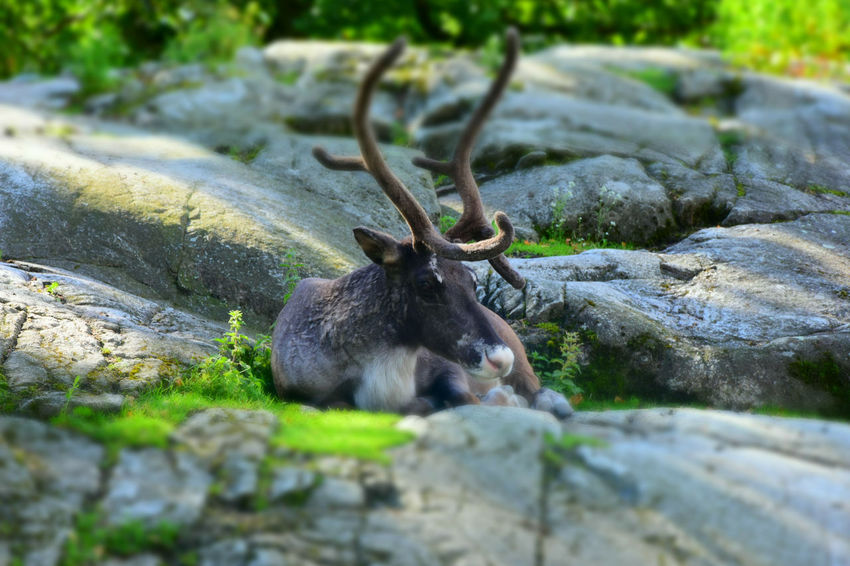 sweden Reindeer Beauty In Nature Close-up Day Focus On Foreground Growth Log Mammal Nature No People Outdoors Reindeer Reindeer Antlers Reindeer Games Reindeer Sighting Reindeers Santa Claus Santa Claus Is Coming To Town  Santaclaus Selective Focus Tree Trunk Wood - Material