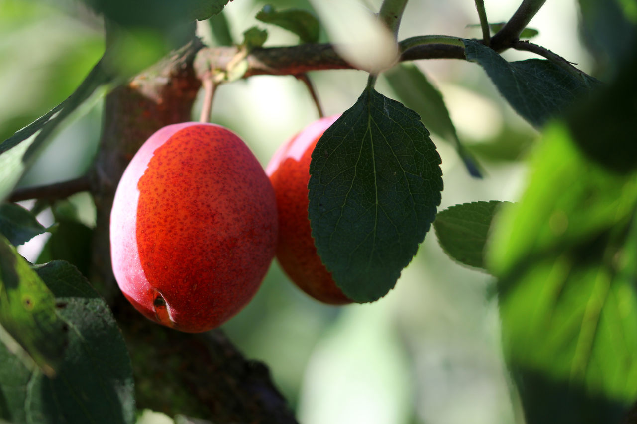 Agriculture Beauty In Nature Close-up Day Focus On Foreground Food Food And Drink Freshness Fruit Green Color Growing Growth Healthy Eating Leaf Nature Organic Outdoors Plums Red Red Plum Tree Red Plums Ripe Selective Focus Tree Vibrant Color