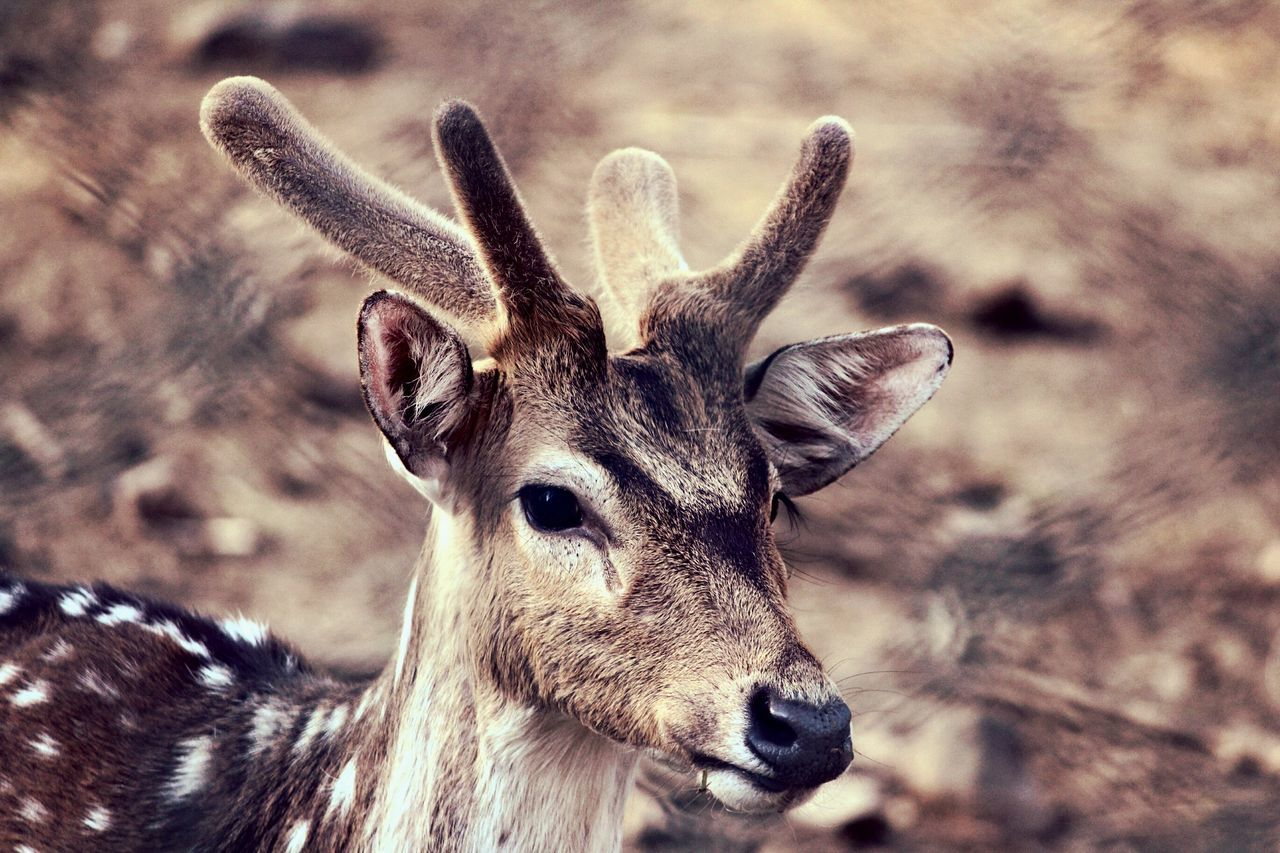 Deers Nature Beauty Peace Close-up No People One Animal Outdoors Animals In The Wild Nature Beauty In Nature Low Angle View Outdoors Photograpghy  Deer Horns EyeEmNewHere