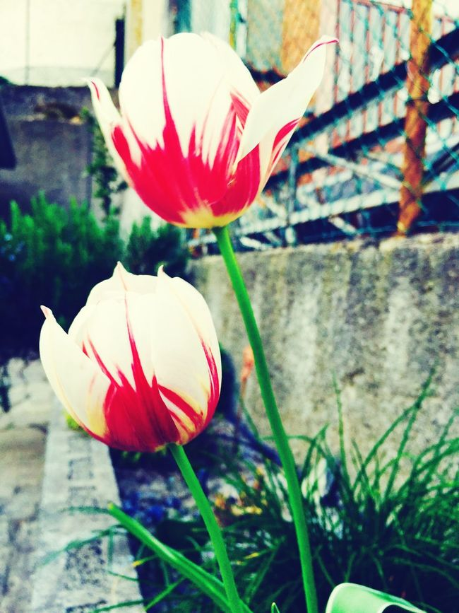 Beauty In Nature Botany Flower Flower Head Freshness Growth Outdoors Petal Red Tulip