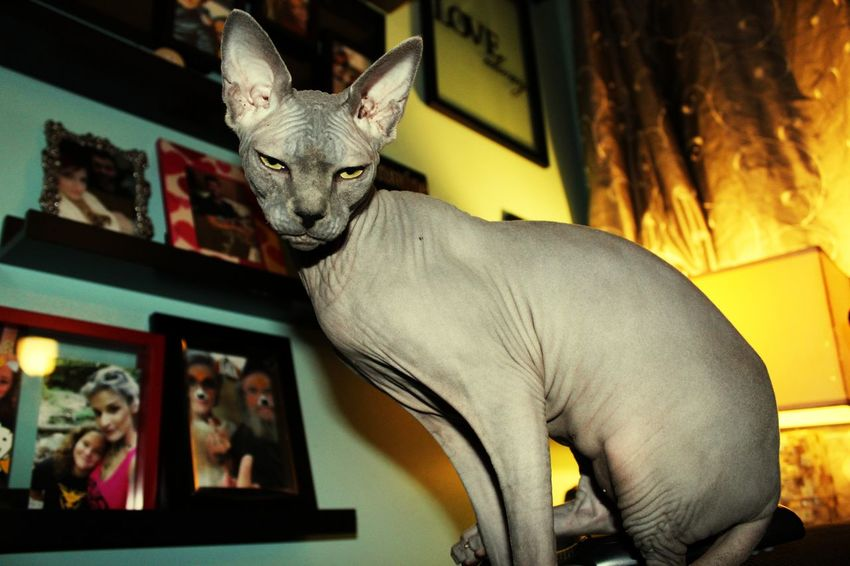 Pet Portraits Hairless Cat Sphynx Cat EyeEm Selects Animal Angrycat Grumpy Cat Grumpycat Fresh On Market 2017