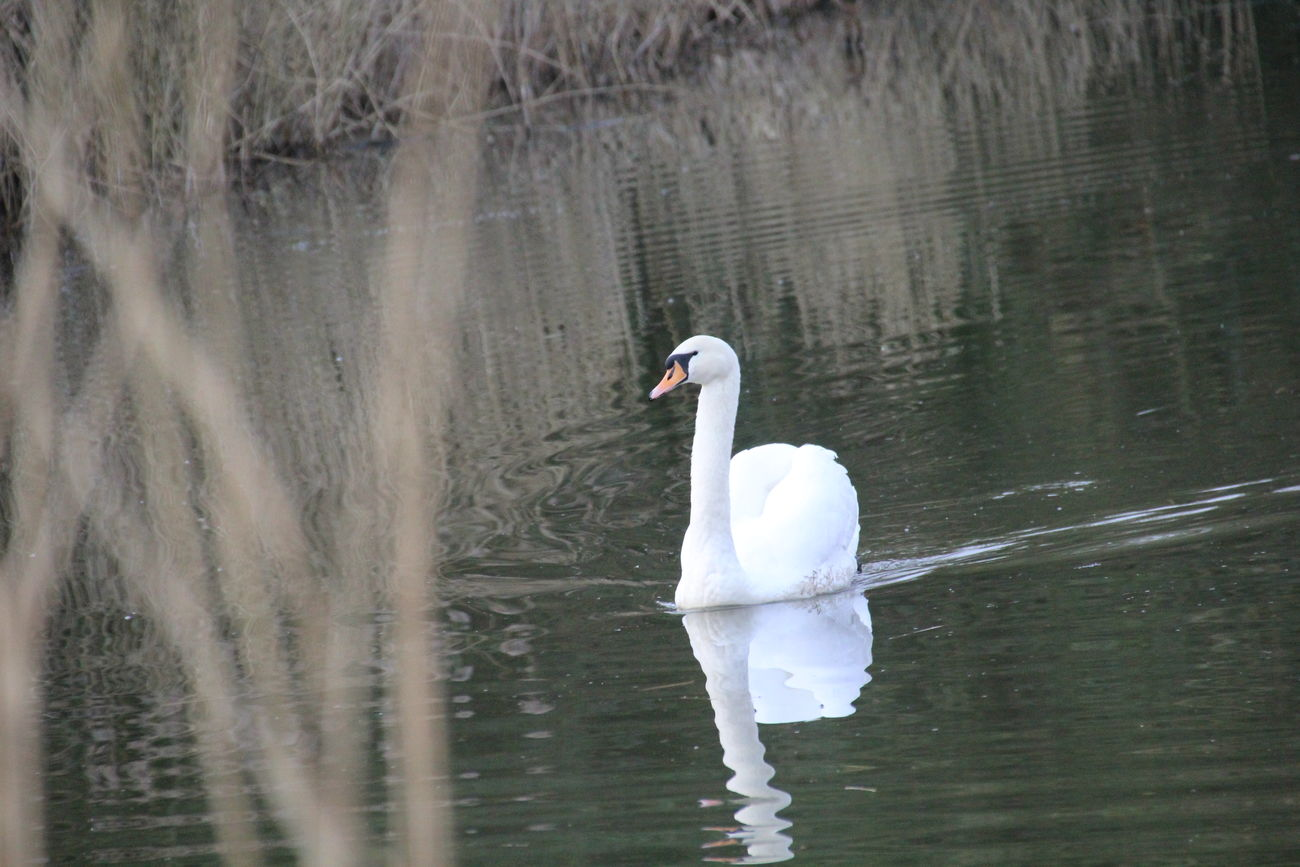 Beauty In Nature Bird One Animal Swan Swimming Water