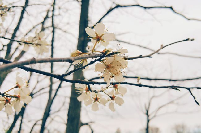 Spring walk with my Samsung Note 5 Vscocam VSCO Nature No People EyeEm Best Edits Outdoors Tranquility EyeEm Gallery Tree Flower Plant Growth Beauty In Nature White Samsungphotography Samsung Note 5 Samsung
