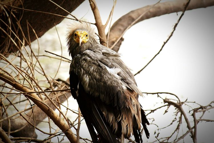 Bird Bird Of Prey One Animal Animal Wildlife Animals In The Wild Bald Eagle Egyptian Eagle - Bird Vultures Egypt Wildlife Photography India Bharat Delhi, India