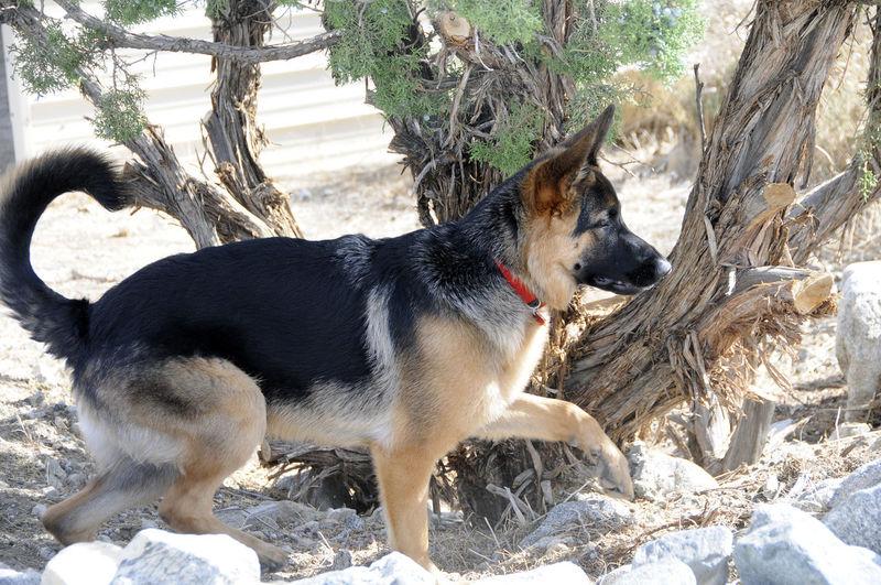 GSD Kimber Hunting Black & Tan Dog Domestic Animals German Shepard GSD Kimber Hunting One Animal