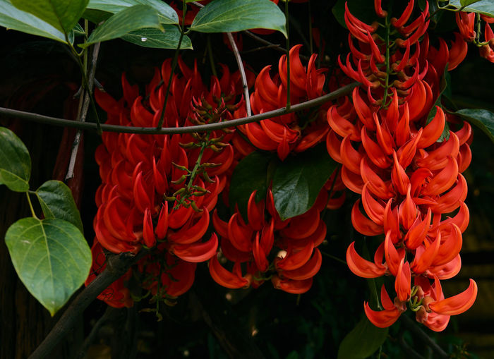 Newguinea Creeper Red Jade Vine Beauty In Nature Blooming Close-up Day Flower Flower Head Fragility Freshness Green Color Growth Leaf Nature No People Outdoors Petal Plant Red Vine - Plant
