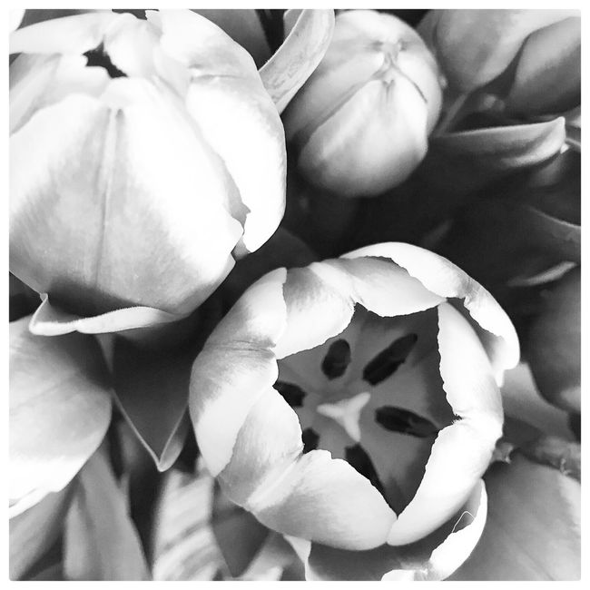 Tulips Flowers Blackandwhite Black & White Nature_collection Nature