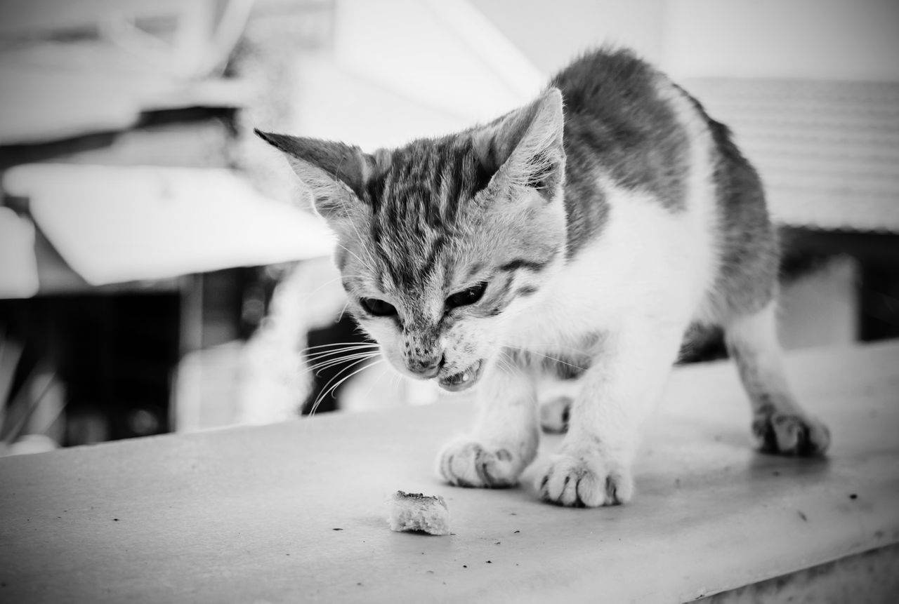 Hungry? Pets One Animal Cat Close-up Feline Selective Focus No People Animal Animal Posing Tabby Cat Blackandwhite Black And White Black & White Greece Kalymnos