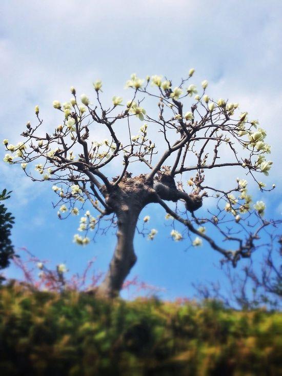 Spring コブシ