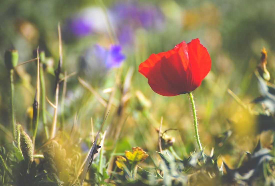 End of spring Flower Growth Nature Beauty In Nature Petal Plant Fragility Field Freshness Flower Head Blooming No People Stem Poppy Day Outdoors Close-up Spring Focus On Foreground Greece Crete Elounda