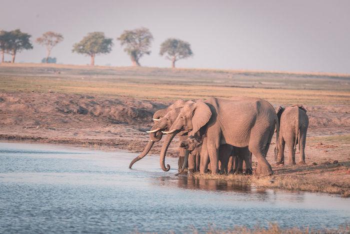 Group of African Elephants drinking water from Chobe River at sunset. Wildlife Safari and boat cruise in the Chobe National Park, Namibia Botswana border, Africa. Toned image. Keywords: elephant,herd,african,ivory,drinking,river,endangered,elephants,young,group,sunset,sunrise,trunk,water,proboscis,tusk,riverbank,fang,safari,chobe national park,travel destination,ears,cub,national park,botswana,namibia,wildlife,etosha,game reserve,loxodonta,wild,savannah,reserve,kruger,bush,south africa,savuti,skin,moremi,nature,animal,mammal,kenya,tanzania,serengeti,powerful,wilderness,fauna,conservation African Elephant Animal Themes Animal Trunk Animal Wildlife Animals In The Wild Beauty In Nature Day Drinking Elephant Elephant Calf Full Length Landscape Mammal Nature No People Outdoors Safari Animals Sky Tree Water