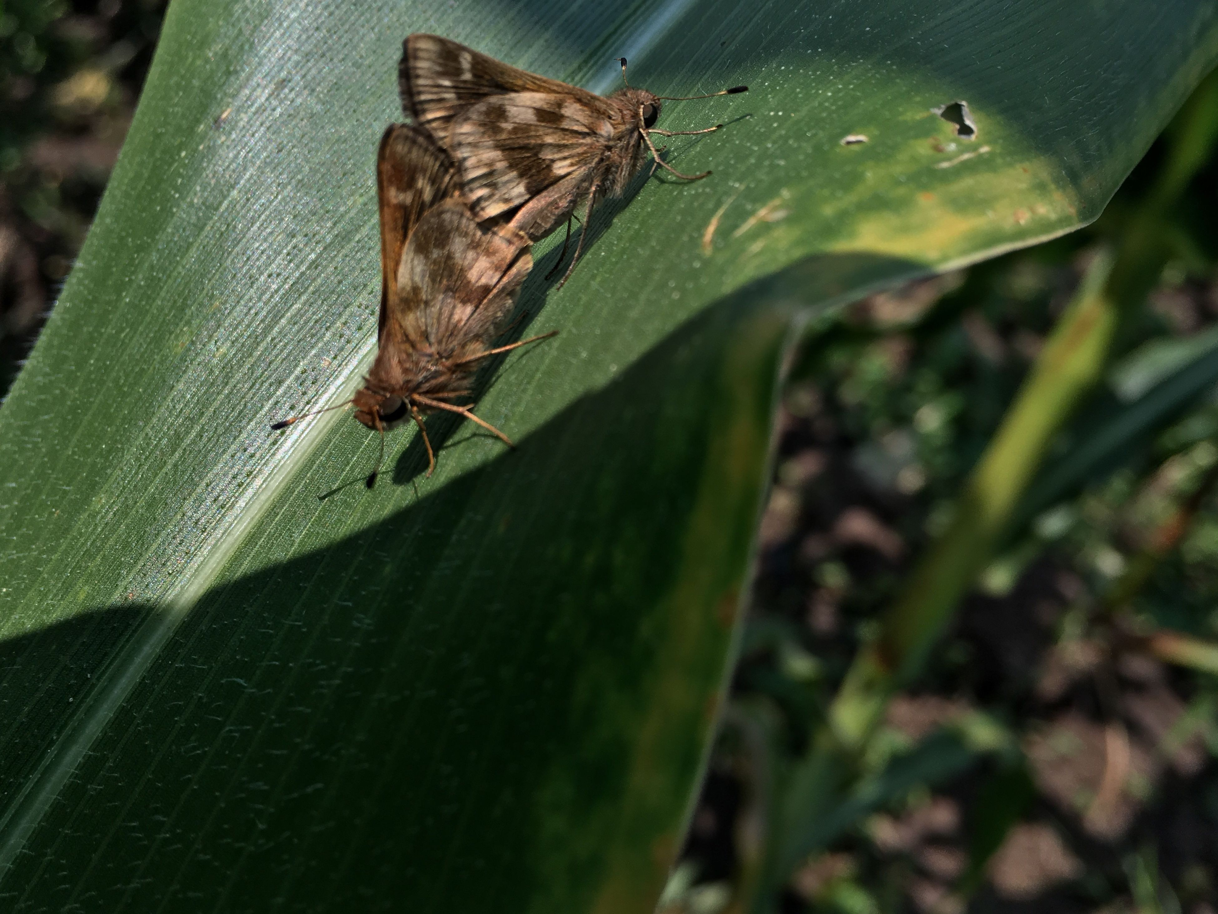 animals in the wild, insect, wildlife, one animal, animal themes, close-up, selective focus, moth, butterfly - insect, zoology, butterfly, green color, animal wing, invertebrate, nature, focus on foreground, arthropod, outdoors, day, no people, green