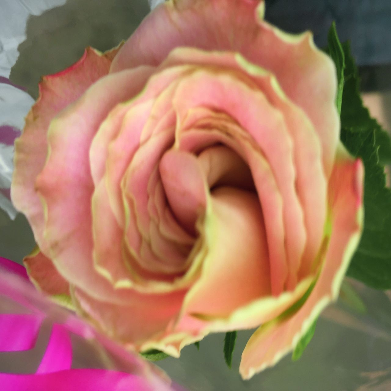 flower, petal, fragility, beauty in nature, nature, flower head, rose - flower, freshness, growth, close-up, pink color, plant, day, no people, outdoors, blooming