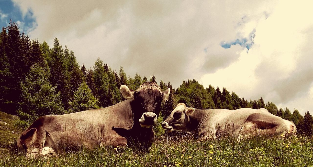 Auf der Alm Italy Südtirol Alm Animals Animals In The Wild Relaxing AnimaLs <3 Summer Memories 🌄 Color Flowers Sunnyday☀️ Summer Flower Cow Cows Kuh Kuhweide Kuhglocken Mucca Mucche Muccapazza Sole...☀ Alto Adige