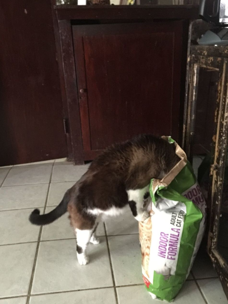I'm hungry Feed Me ! Fat Cat Is So FAT! Nobody's Looking On A Diet June 2016 Bad Boy  No People Hmm Which One? My Cat Thief Chow Time Meow🐱 Animals Cats And Dogs In The Bag