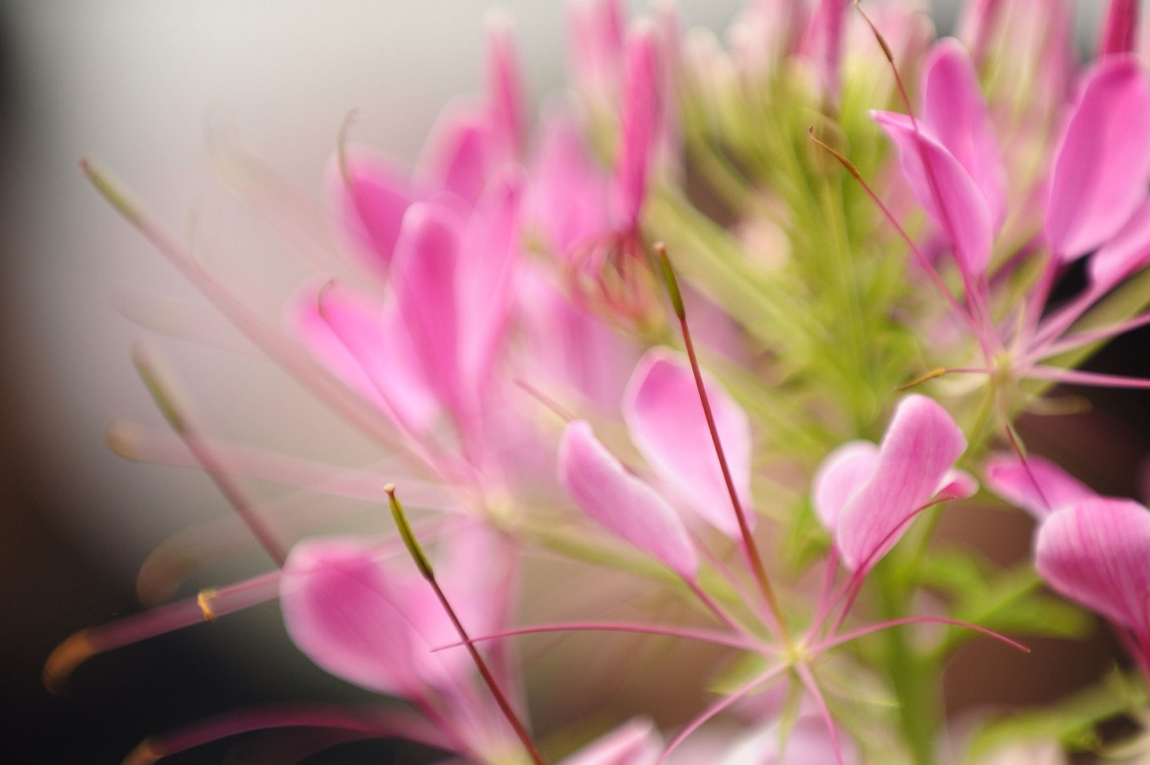 flower, petal, freshness, pink color, fragility, growth, flower head, close-up, beauty in nature, plant, nature, focus on foreground, blooming, pink, selective focus, stem, purple, in bloom, no people, bud