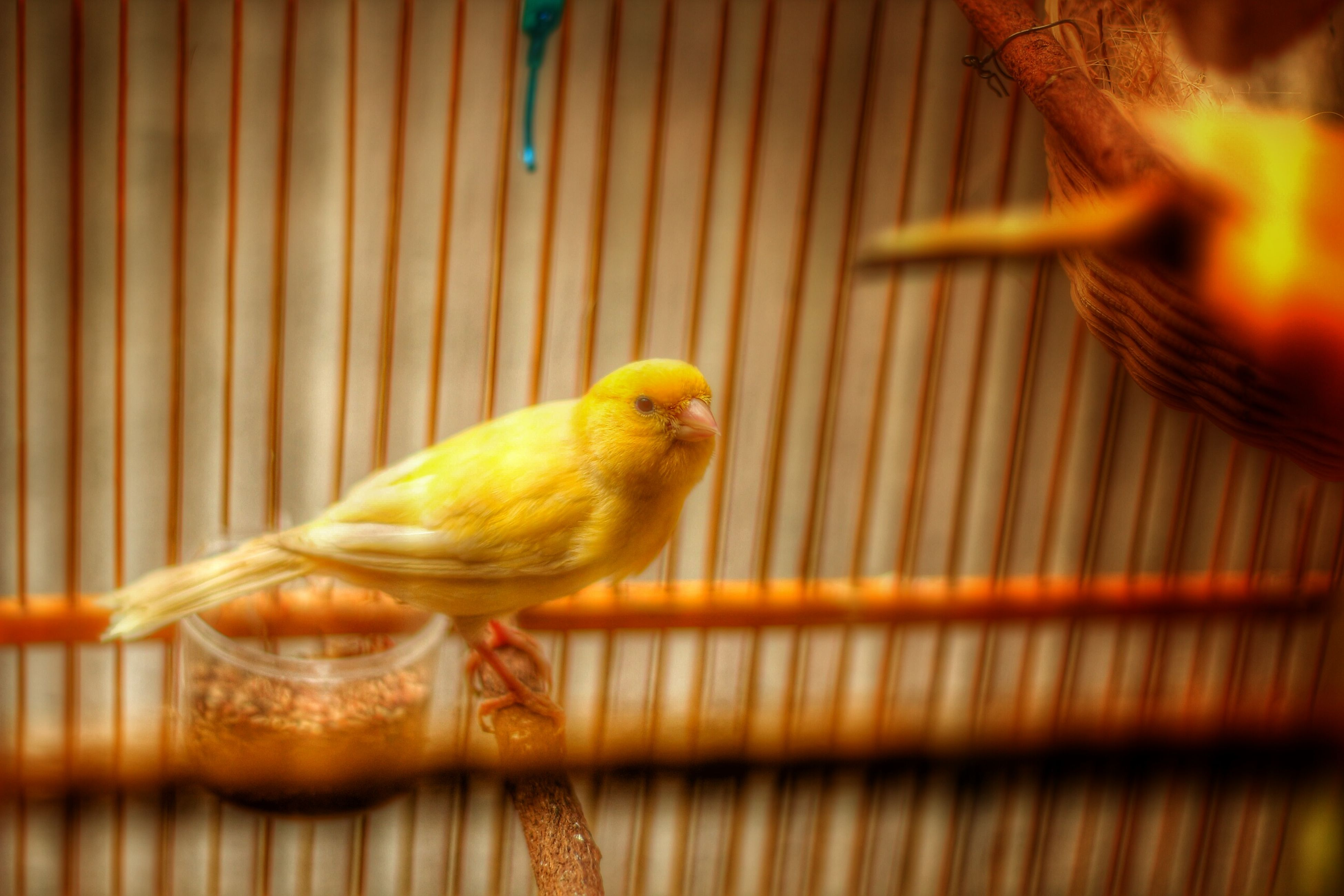animal themes, one animal, animals in the wild, wildlife, yellow, close-up, cage, bird, focus on foreground, animals in captivity, selective focus, perching, wood - material, zoology, outdoors, no people, side view, day, nature, full length