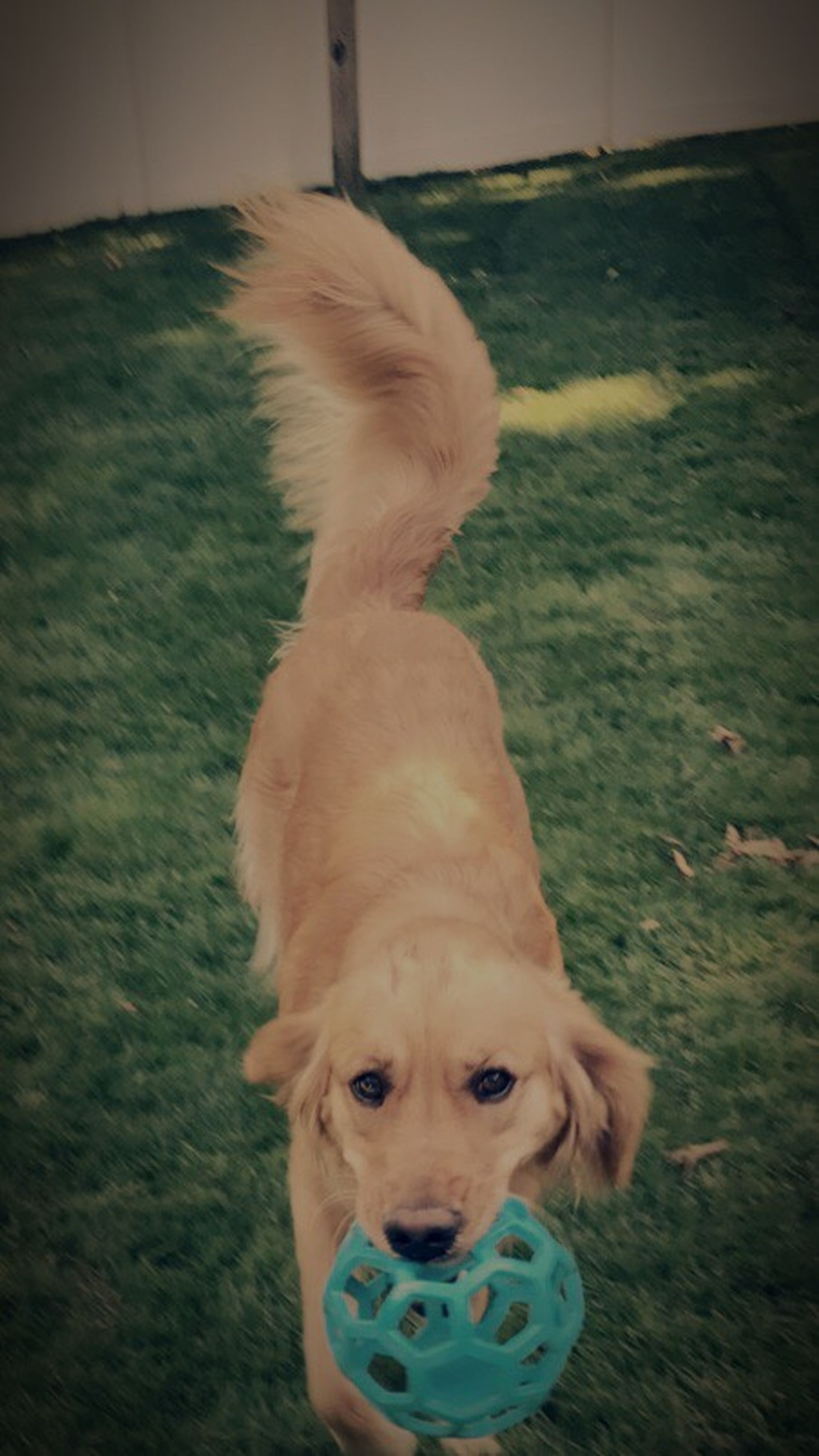dog, pets, domestic animals, one animal, mammal, animal themes, indoors, looking at camera, portrait, no people, day, grass, close-up