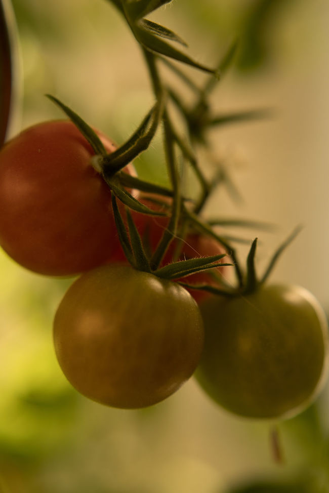 Tomatoes in different states of ripening Close Up Fruity Garden Gardening Green Tomatoes Growth Plants Ripe Tomatoes Tomatoes