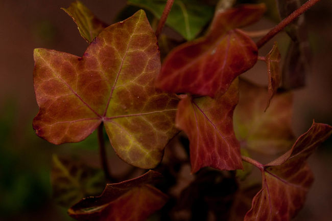 Autumn Autumn Colors Beauty In Nature Botany Change Close-up Day Fall Fall Beauty Focus On Foreground Fragility Freshness Green Growth Leaf Leaf Vein Leaves Nature No People Outdoors Plant Red Scenics Selective Focus Tranquility
