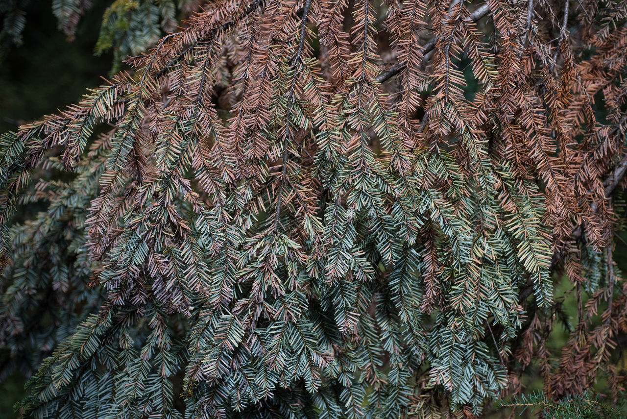 A branch from a slowly dying pine tree creates pattern of colour. Abstract Background Beauty In Nature Branch Close-up Color Coniferous Tree Day Design Environment Evergreen Foliage Forest Green Growth Lush Foliage Nature Needle No People Outdoors Plant Plant Spruce Tree Wallpaper