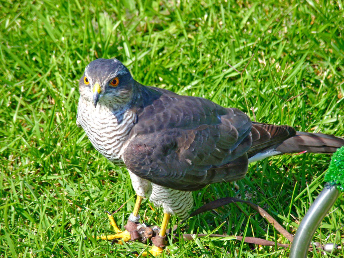 Accipiter Accipiter Gentilis Animal Themes Animal Wildlife Animals In The Wild Beak Beauty In Nature Bird Bird Of Prey Birds Close-up Day Falconry Falconry Display Field Goshawk Grass Green Color Nature No People Northern Goshawk One Animal Outdoors Perching