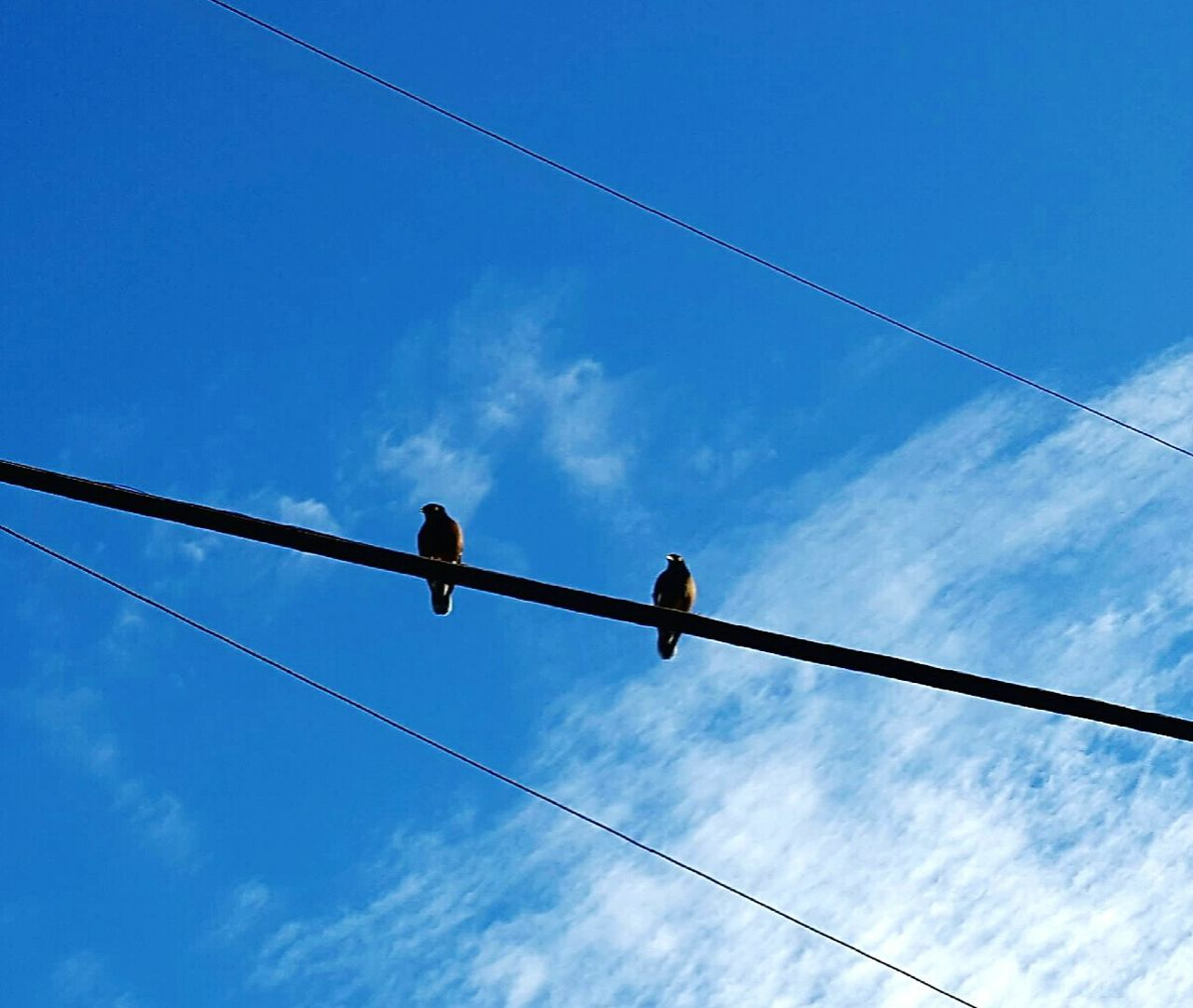 Vapor Trail Electricity  Cable Low Angle View Bird No People Power Supply Animal Wildlife Connection Outdoors Day Nature Sky Two Mynah Birds Kaneohe Oahu Live Aloha Paradise