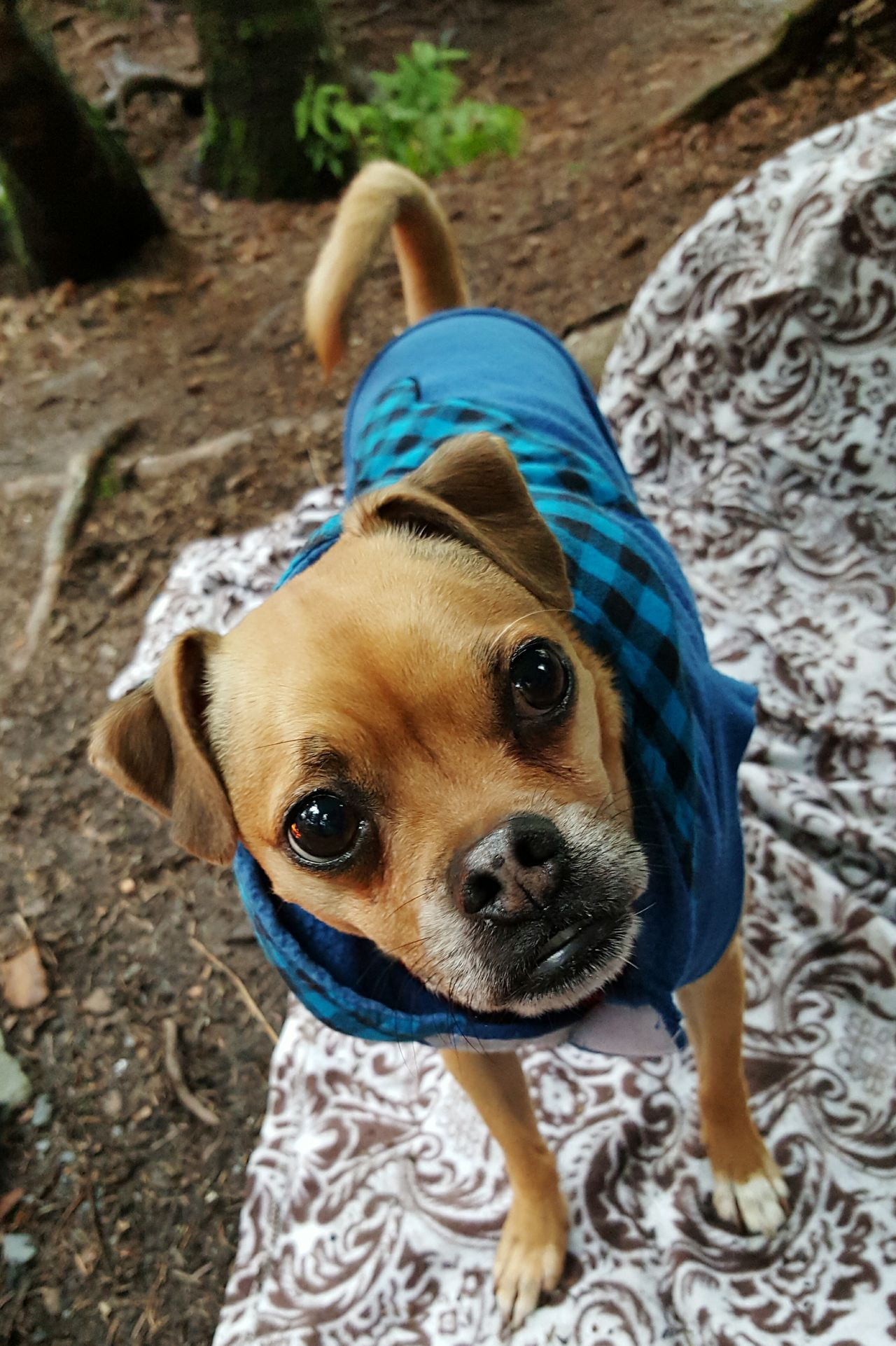 Camping Dog Animal Themes Domestic Animals Pets Chihuahua Pug Mix Chug Furry Friends Furbaby Nature Outdoors Adventure Alaska