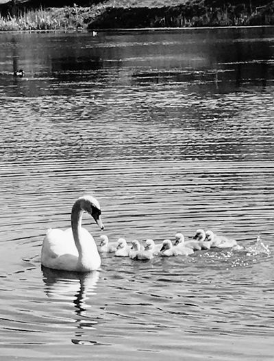 Divingschool's Started.. Water Lake Animal Themes Bird Swimming Swan Reflection Water Bird Animal Wildlife Waterfront Floating On Water Togetherness Nature Waterfowl Day Outdoors Beauty In Nature Swanlings SwanLife Swans Of Eyeem Babyswans Cutifuls✨ Beautiful Beautiful Nature Osloswans❤️