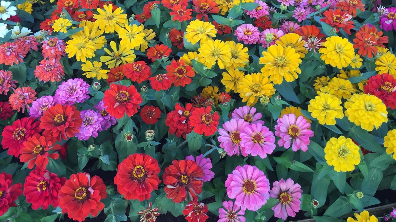 flowers in red, pink, purple, yellow, and orange color in outdoor garden. Flower Freshness Beauty In Nature Flower Head Nature Petal Multi Colored Blooming Growth No People Close-up Textures And Surfaces Textured  Outdoor Flower Collection Colorful Flower Photography Textures And Patterns Bold And Beautiful Garden Flowers Garden Green Leaf Floral Floral Pattern No Fliter