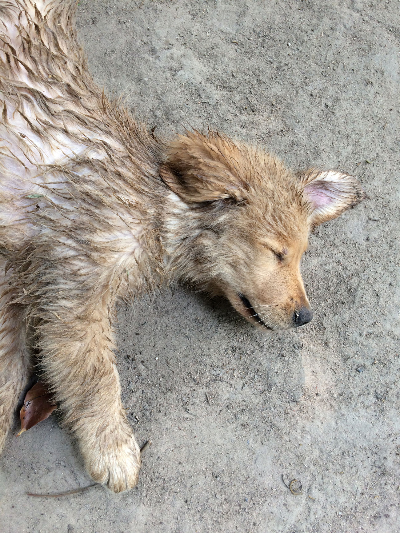Sleepy Sleeping Animal Themes Animal Wildlife Animals In The Wild Close-up Day Dirty Dog Domestic Animals Funny Golden Retriever Goldenretriever High Angle View Lazy Lazy Day Mammal No People One Animal Outdoors Playing Puppies Puppy Raccoon Sleeping Sleepy Take A Break