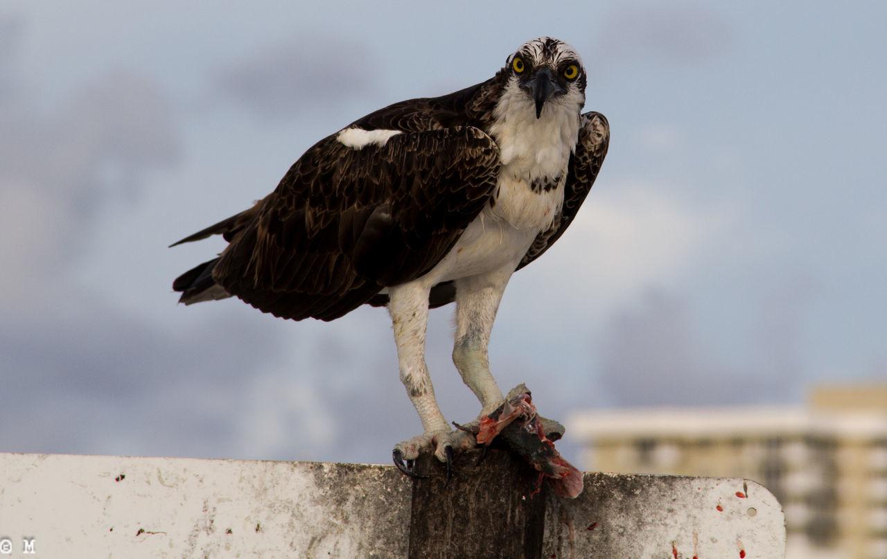 Beautiful stock photos of hawks, Animal Themes, Animal Wing, Animals In The Wild, Bird