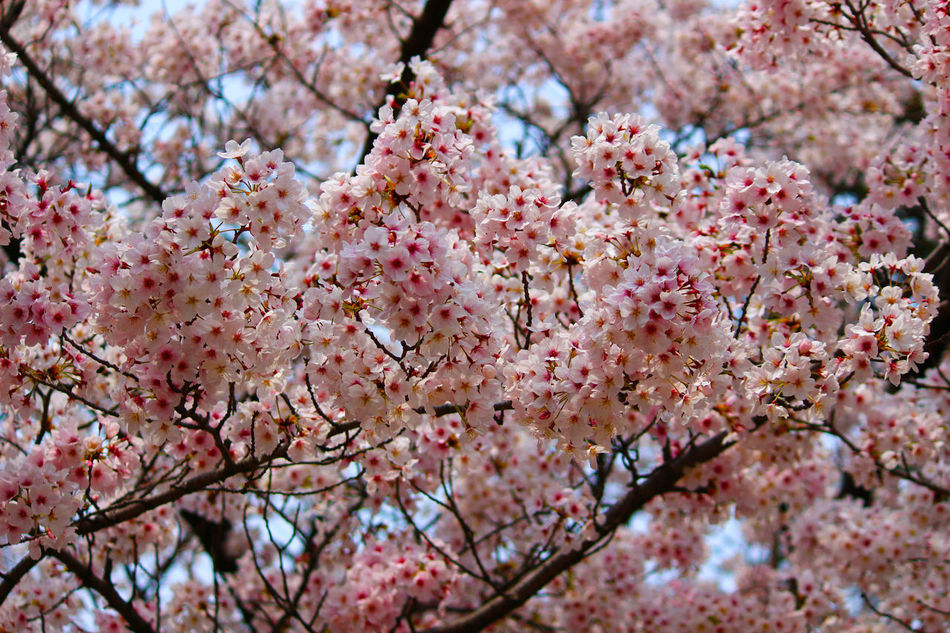 Beauty In Nature Blossom Botany Branch Cherry Blossom Cherry Tree Close-up Flower Fragility Freshness Growth Nature No People Outdoors Petal Pink Color Selective Focus Springtime Tree Twig