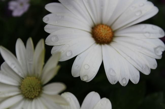Daisys Flower Flower Collection Freshness Rain Drops On Flowers White White Flower Yellow Centered Flowers