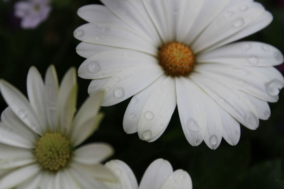 Daisys Flower Flower Collection Freshness Rain Drops On Flowers White White Flower Yellow Centered Flowers