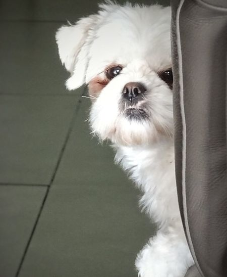 Pets Dog Animal Domestic Animals One Animal Portrait Looking At Camera Puppy Cute Shih Tzu Mammal No People Animal Themes Indoors  Close-up Day Cute Dog  Shih Tzu Cute Dog  Cute Dog  EyeEm Animal Lover Dogs_of_instagram Photo♡ Shih Tzu Love Shihtzuphotography