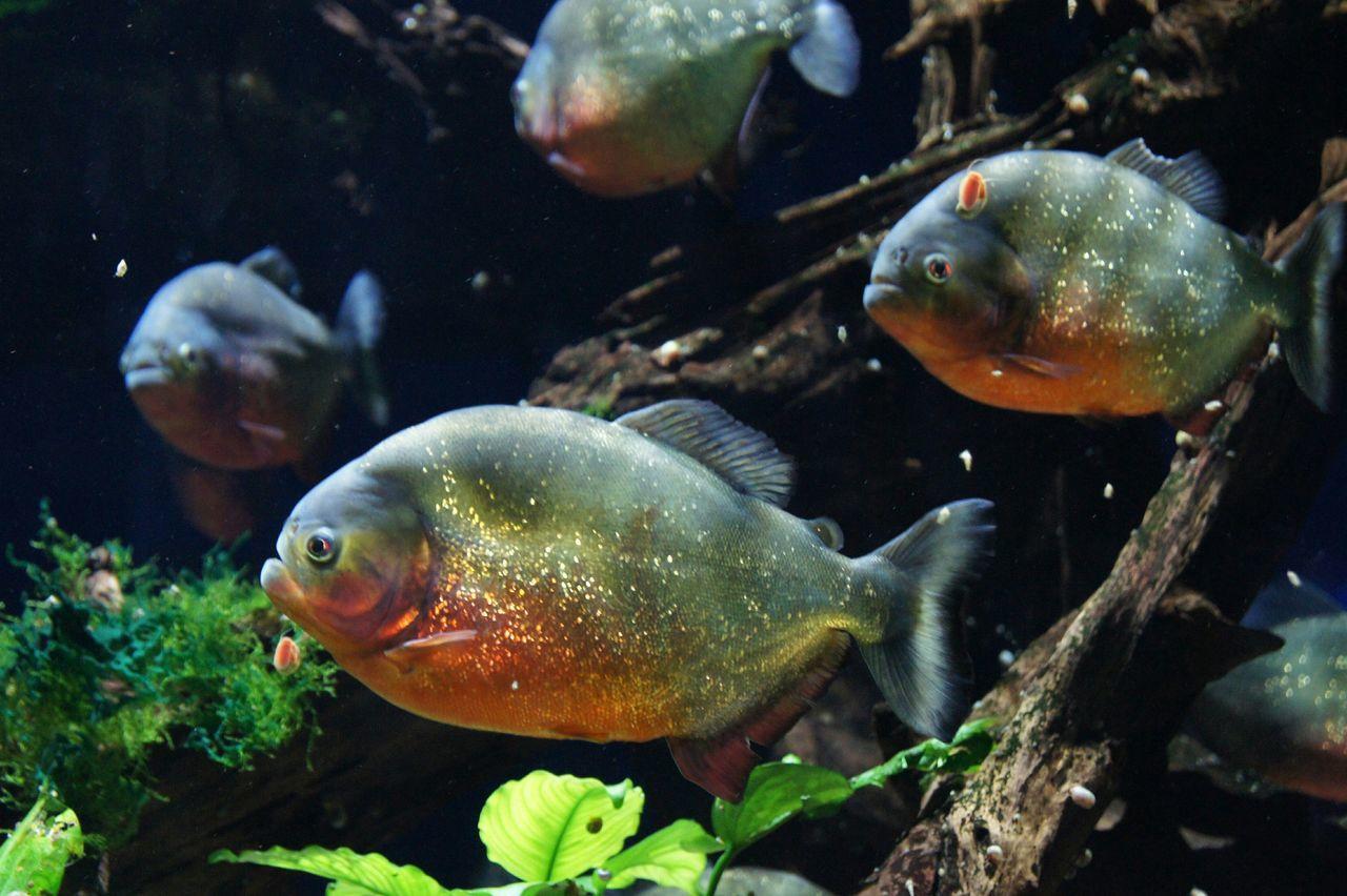 Dangerous Piranhas Underwater Underwaterlife