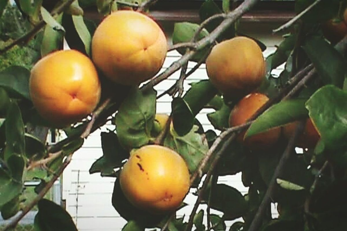 Fruit Freshness Orange - Fruit Food No People Leaf Close-up Tree Nature Outdoors Day Persimmon Tree Persimmons Persimmon Persimmon Fruits Persimmon Leaves