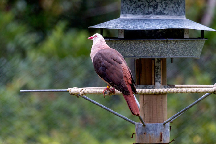 Pink Pigeon Animal Themes Animal Wildlife Animals In The Wild Bird Close-up Day Focus On Foreground Mauritius Island  Nature No People One Animal Outdoors Perching