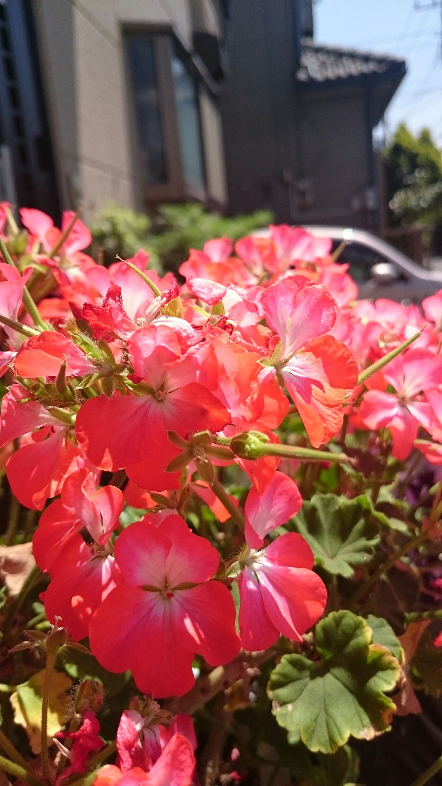 flower, freshness, fragility, petal, growth, beauty in nature, red, pink color, flower head, blooming, nature, close-up, focus on foreground, leaf, blossom, in bloom, plant, building exterior, day, built structure