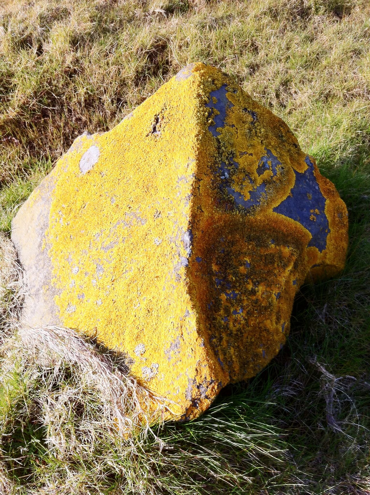 Stonecrust Yellow High Angle View Close-up Textured  No People Outdoors Day Oil Spill Lichen Lichen On A Rock Yellow Lichen Rock - Object Rock Lichen Beauty Lichens On A Rock Lichenlove Lichen Rock Lichen Growth