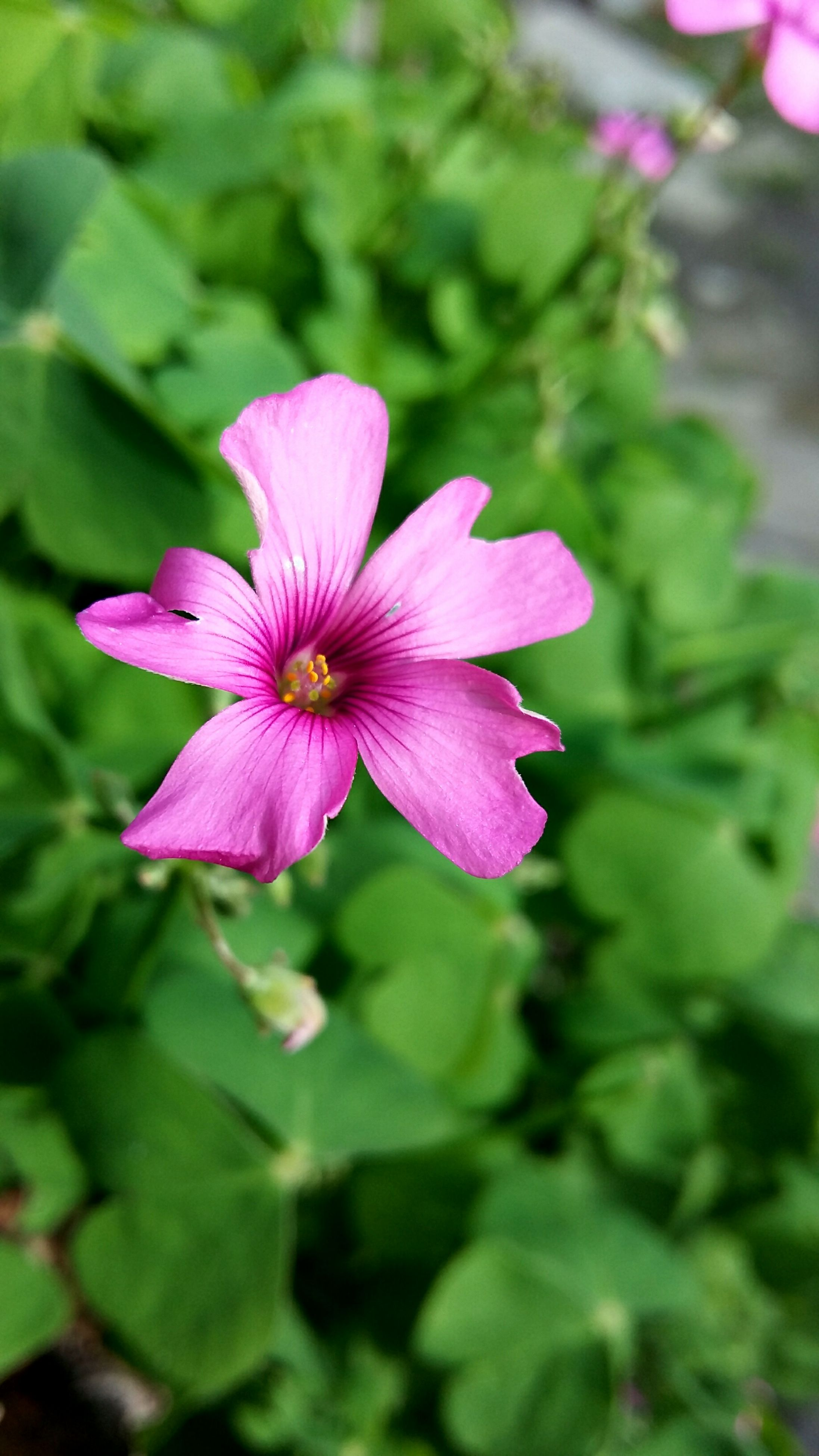 flower, petal, freshness, fragility, pink color, flower head, growth, beauty in nature, close-up, focus on foreground, blooming, nature, single flower, stamen, plant, pink, in bloom, pollen, blossom, leaf