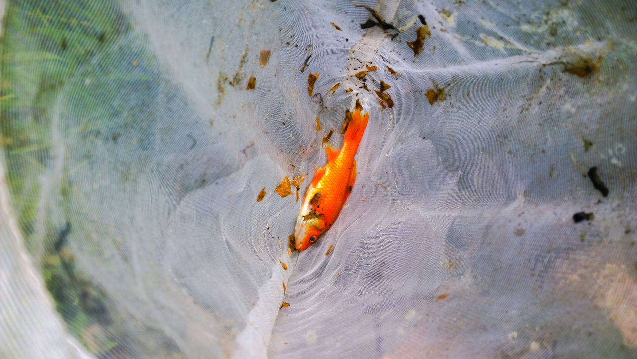 Close-Up Of Goldfish In Dirty Net
