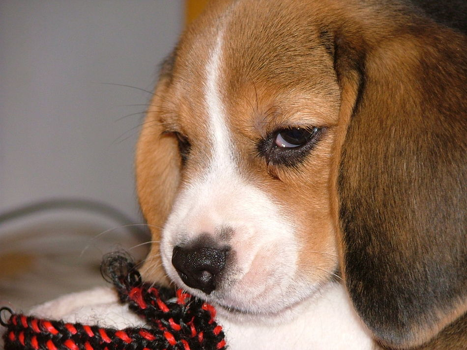 Kutya Dog Kölyökkutya Puppy Puppies Puppy Face Pracli Pud Paw Játék Toy