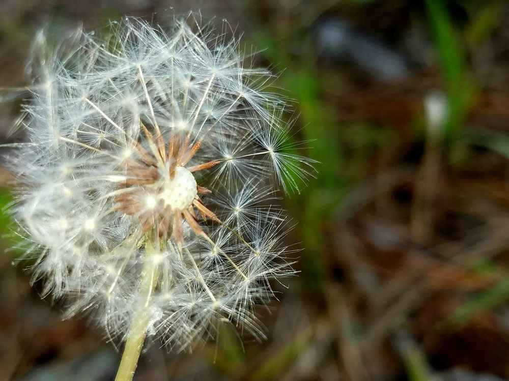 Dandelion Flower Fragility Nature Dandelion Seed Softness Freshness Growth Close-up Uncultivated Focus On Foreground Wildflower Plant Flower Head Beauty In Nature Outdoors No People Day Copyspace Steadfast Delicate Fluff Nature Background The Great Outdoors - 2017 EyeEm Awards Breathing Space