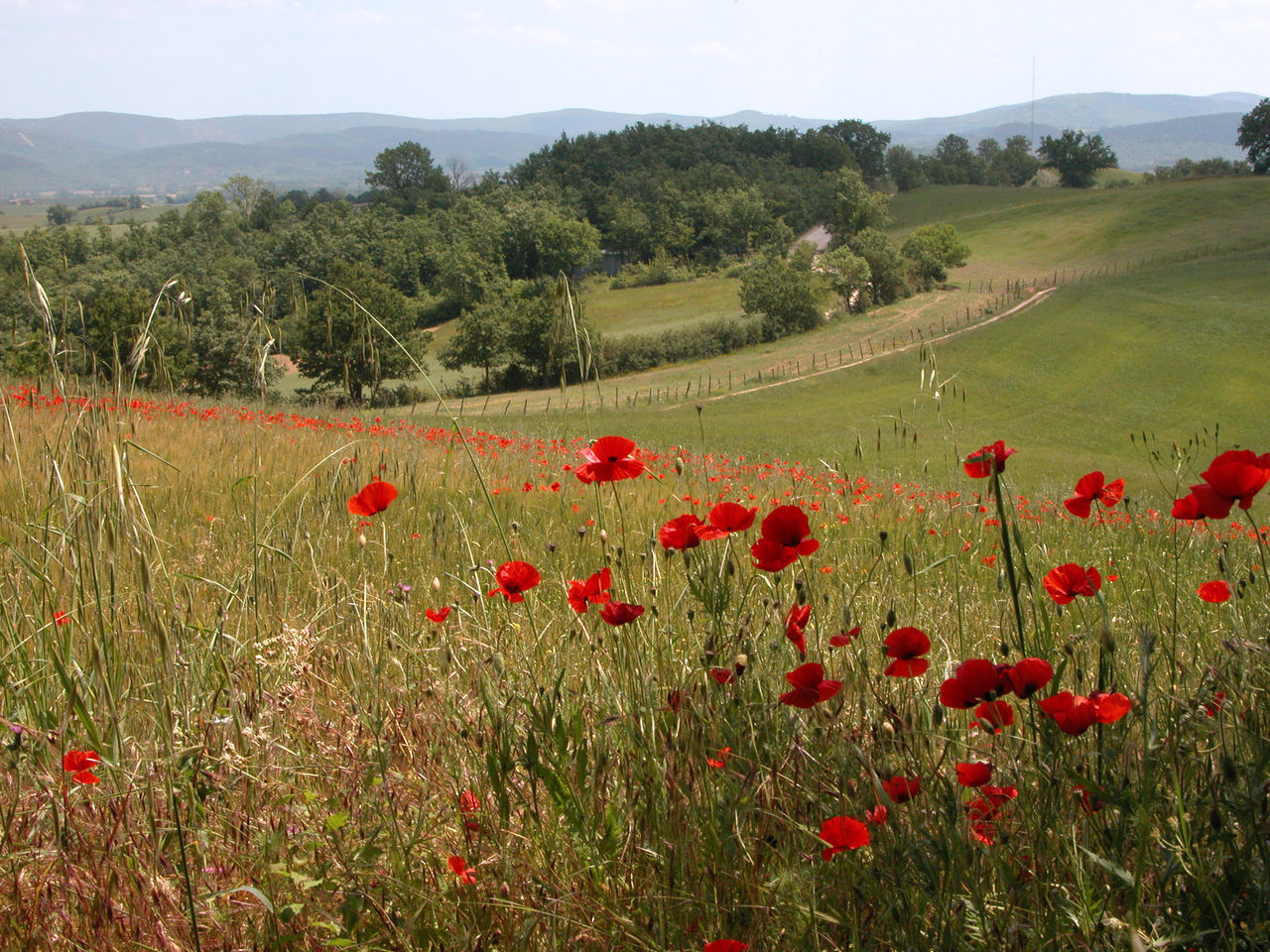 Toscane Flower Nature Field Agriculture Poppy Red Growth Plant Landscape No People Outdoors Beauty In Nature Italy Toscane, Poppies  Poppy Flowers Poppy Fields