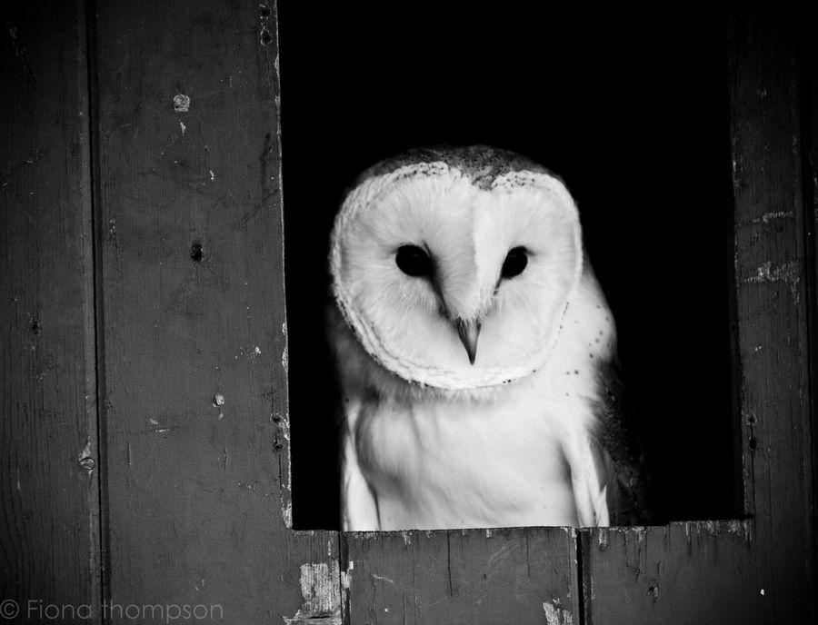 Bird Beauty In Nature Bird Photography UK Wildlife Birds_collection Barnowl Owl Wildlife Looking At Camera Animal Themes