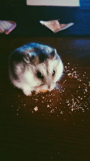 One Animal Animal Themes Pets Domestic Animals No People Day Nature Hamster Love Russian Hamster Hamster Food